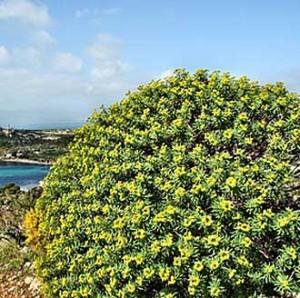 Euforbia-Arborea-Fotolia_81