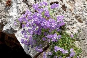 Sainte-Agnès.-Fleurs-bleues