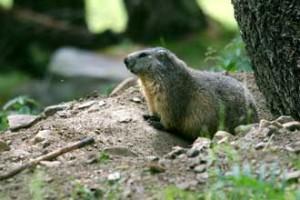 Marmotte-Fotolia_24379407